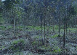 Enfermidades Eucalyptus Globulus