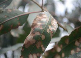 Enfermidades Eucalyptus