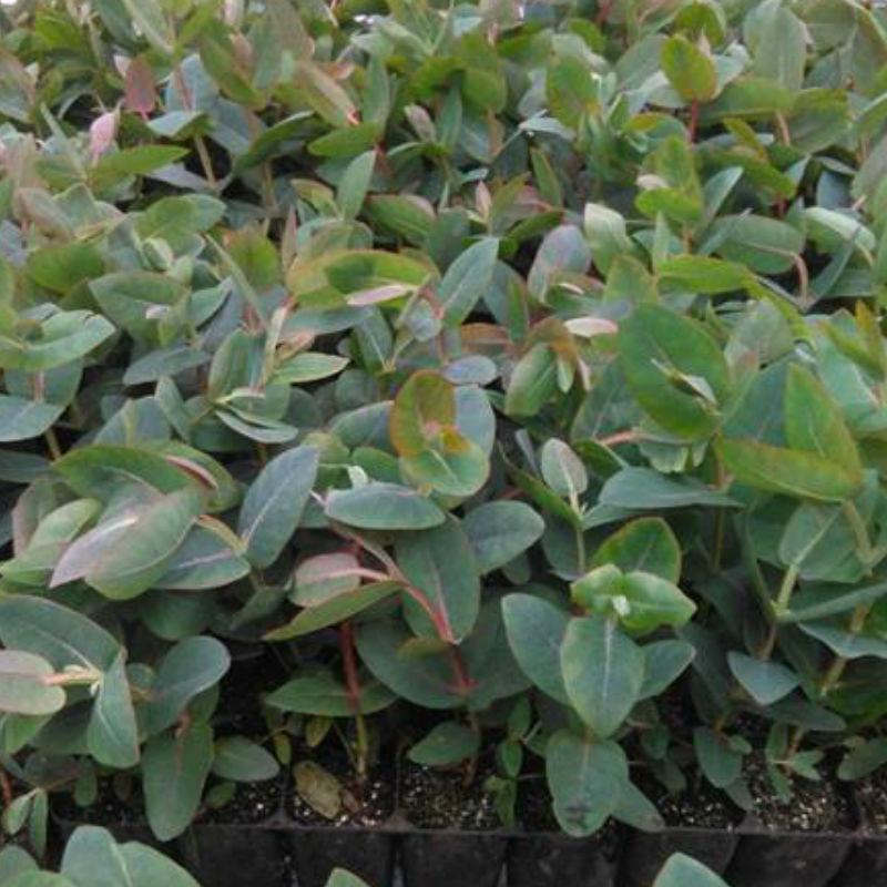 Horta eucalipto nitens