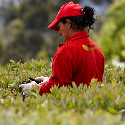 Mellorando Eucalyptus dende 1982
