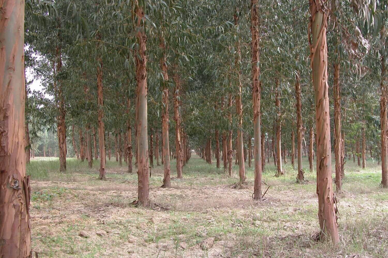 A túa plantación de eucaliptos