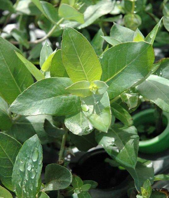 Plantas de eucalipto Ence Viveiros